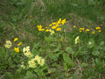 Tatra National Park: flowers in the forest in May