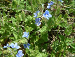© Holiday Lets Poland : Sky blue flowers of Germander Speedwell