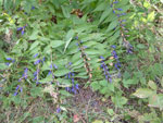 Blue autumn flowering plant found in the hills
