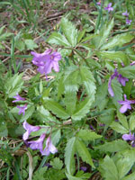 Mauve flowers with divided leaves
