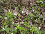 Violets growing on the forest floor