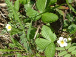 Wild alpine strawberries growing by the side of forest paths