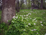 © Holiday Lets Poland : Woodland white flowers in pleasing drifts